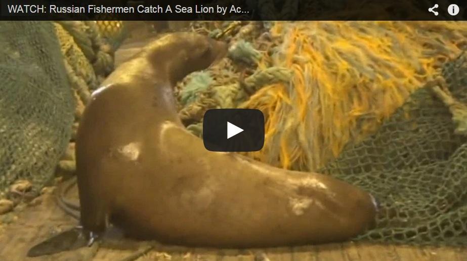 Un león marino capturado accidentalmente ataca a un pescador y a su perro