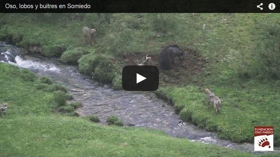 Un oso y tres lobos se disputan un ciervo muerto en el Parque Natural de Somiedo