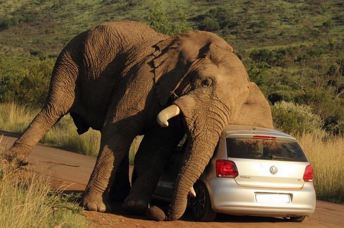 El elefante que utilizó un Volkswagen polo de rascador