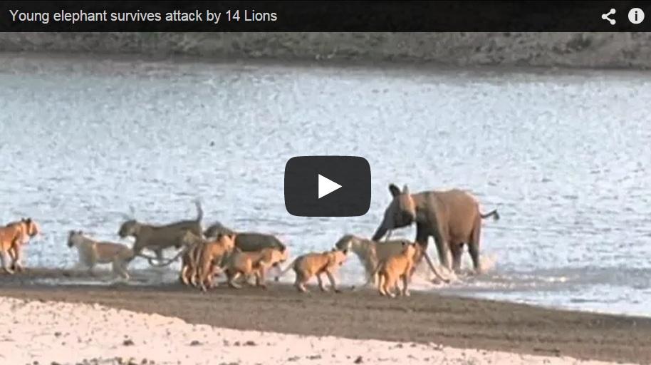 ¿Qué pasa cuando 14 leones rodean a una cría de elefante?