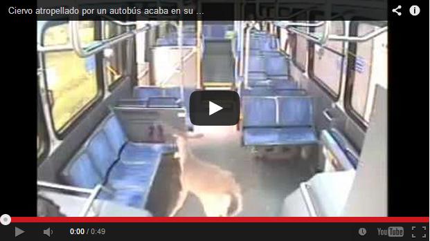 Ciervo atropellado por un autobús acaba en su interior