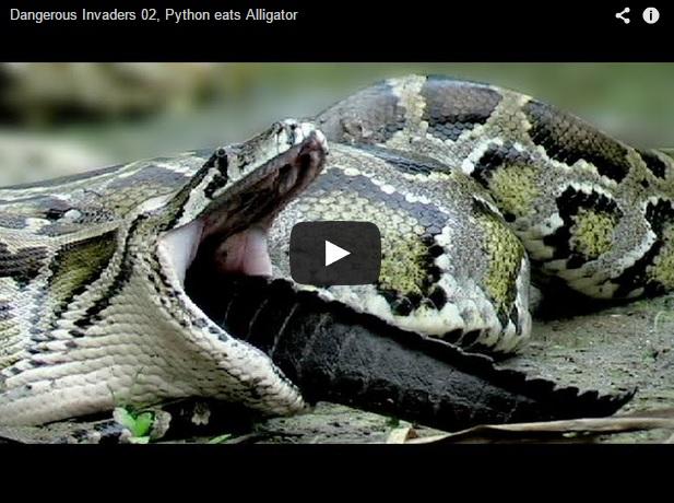 ¿Puede una pitón comerse un cocodrilo?