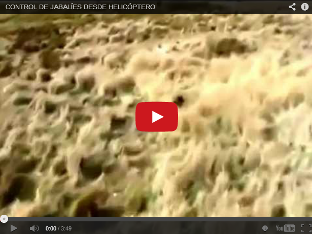 Control de jabalíes desde un helicóptero