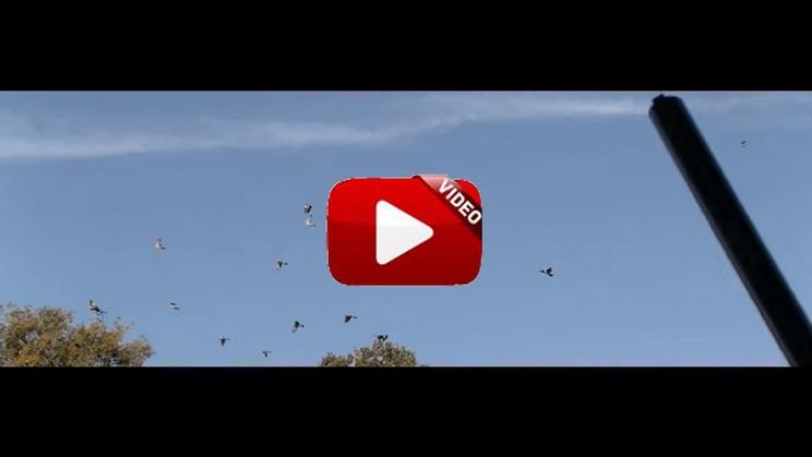 Si nunca has cazado la paloma torcaz con cimbel este vídeo va a provocar que desees hacerlo hoy mismo