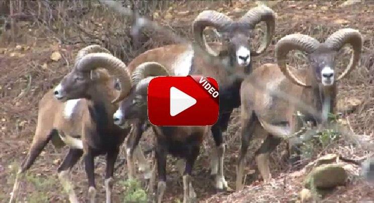 Cazadores de lances: batida de muflones y caza de zorros con perros de madriguera