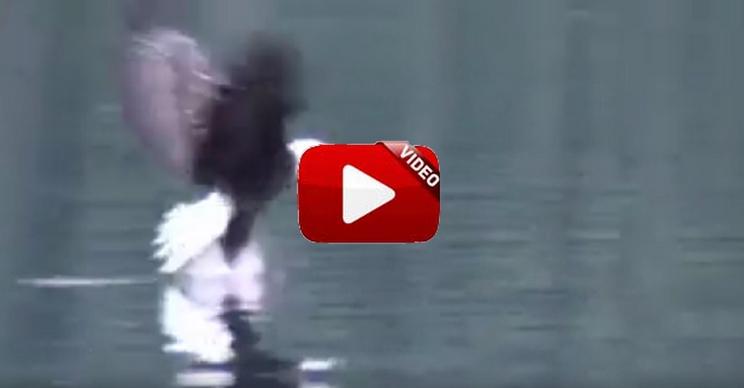 ¿Has visto un águila nadando?