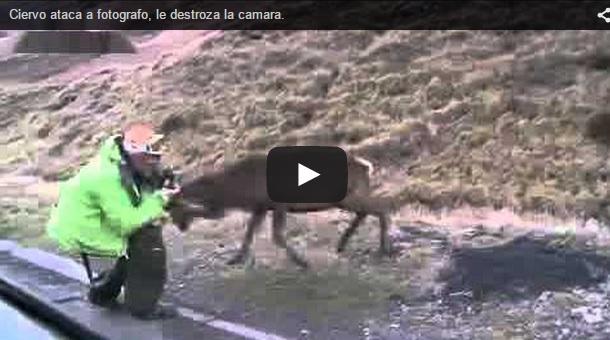 Un ciervo ataca a un fotógrafo y le destroza la cámara