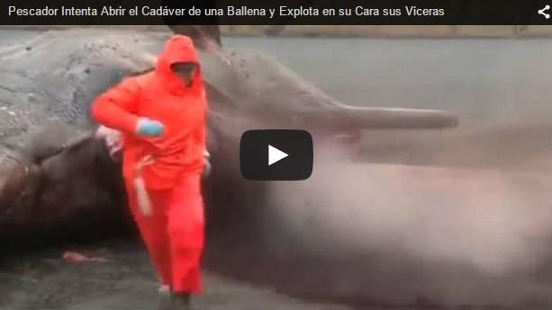 Explota en su cara el cadáver de una ballena al intentar abrirla