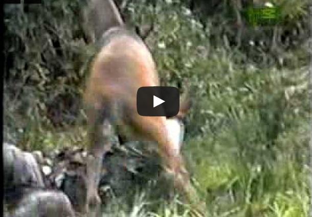 Ataques de ciervos