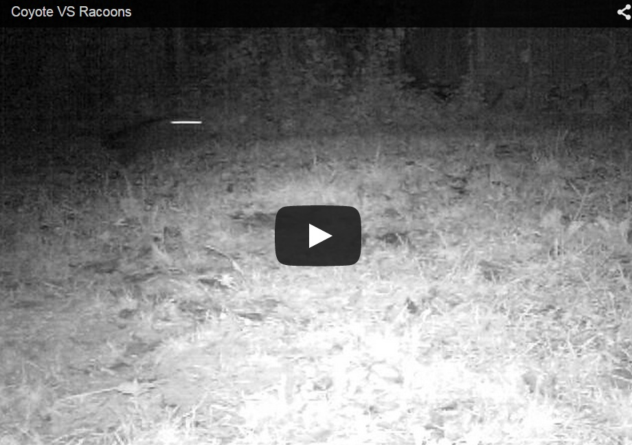 Mapaches vs. coyote