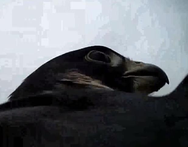 Espectaculares imágenes de un halcón cazando un pato
