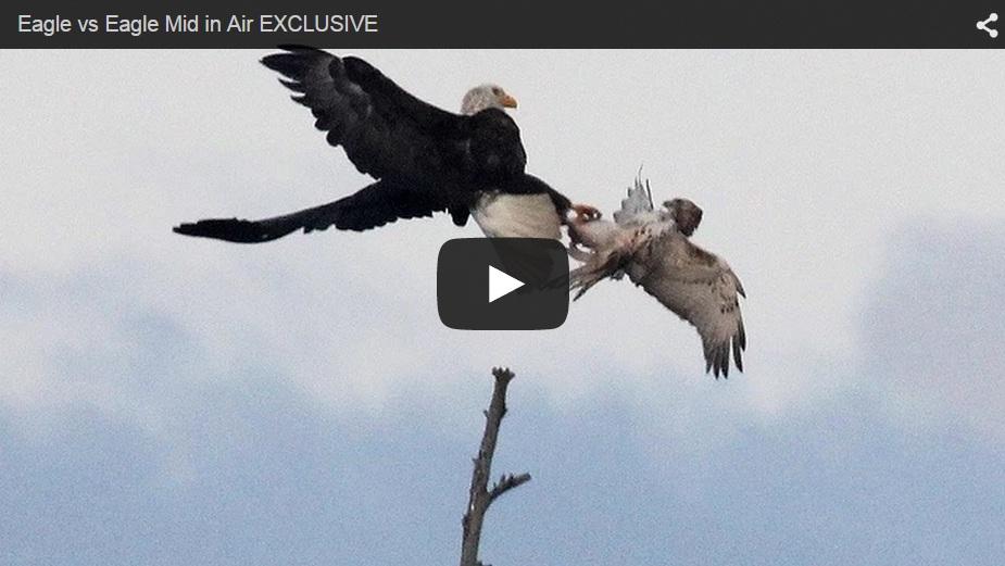 Águila vs. águila