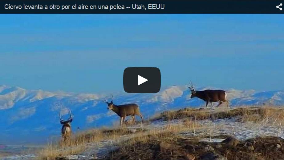 Un ciervo levanta a otro por los aires durante una pelea