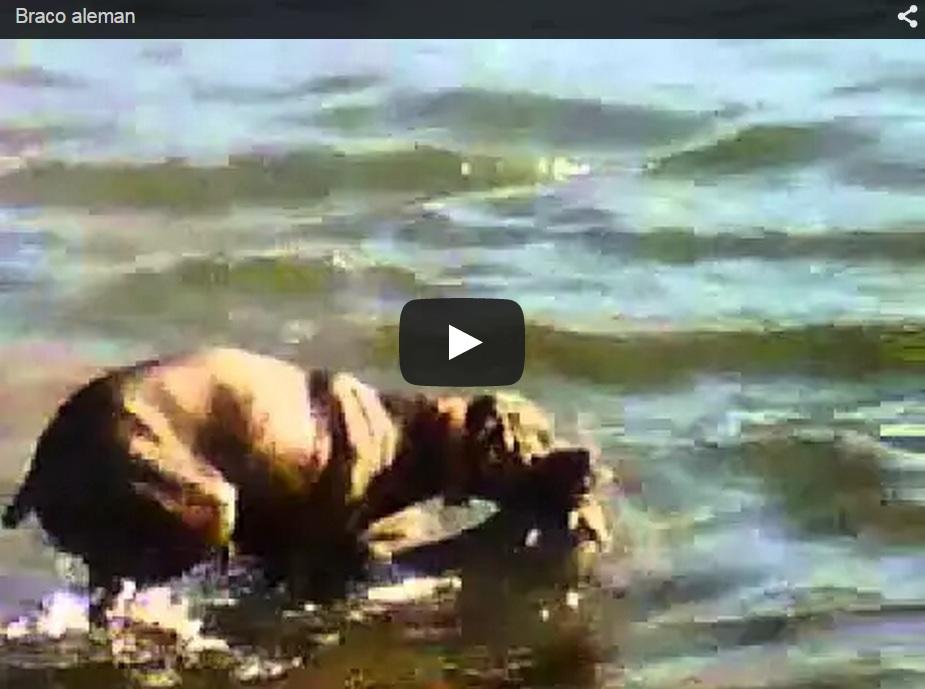 Un braco cobra un cierva en un pantano