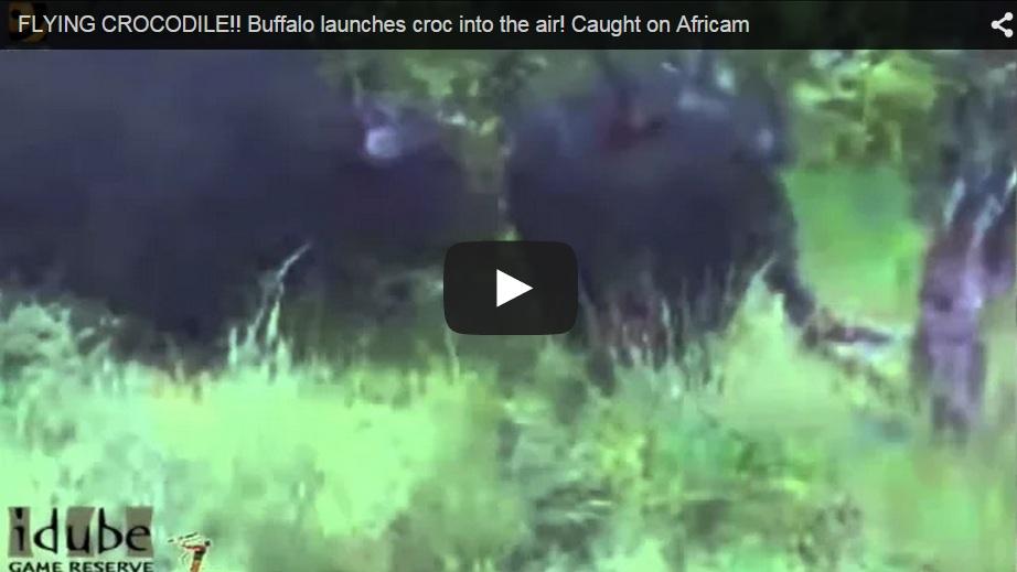Un búfalo defiende a otro del ataque de un cocodrilo lanzando a este último por los aires