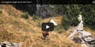 miniatura video ciervo