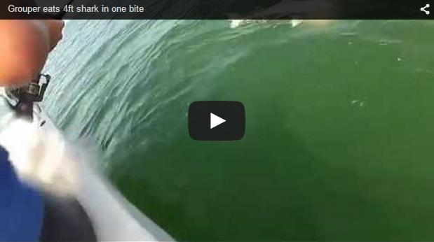 Un mero gigante devora de un bocado a un tiburón