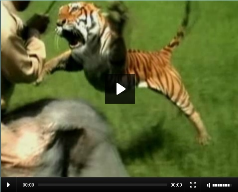 Espeluznante ataque de tigre