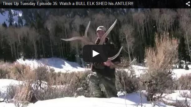Un buen Elk desmoga 'en directo'