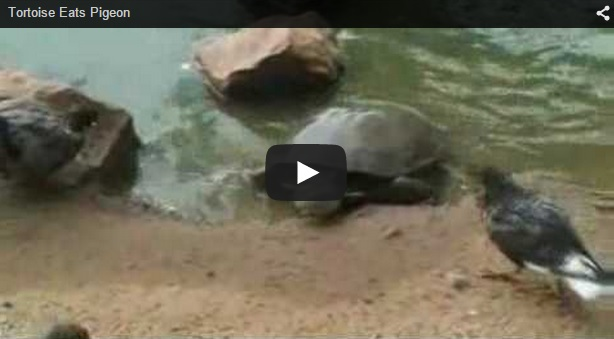 ¿Puede una tortuga comerse una paloma?