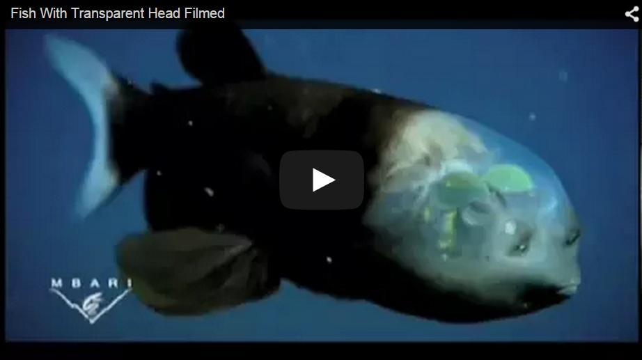 ¡Un pez de cabeza transparente!