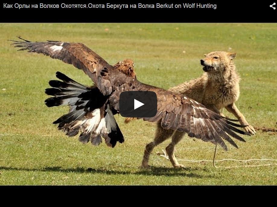 ¿Has visto a un águila cazando un lobo?