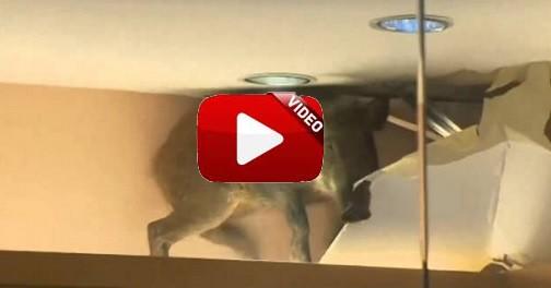 Un jabalí cae del techo en un comercio de Hong Kong