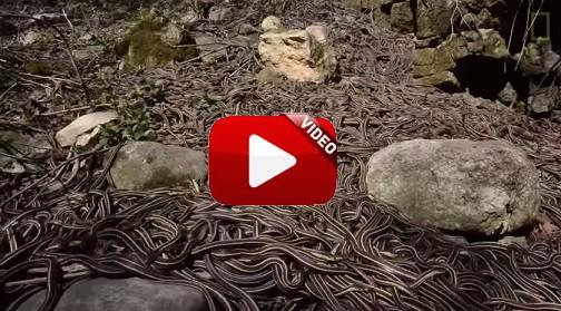 La reunión de serpientes más grande del mundo