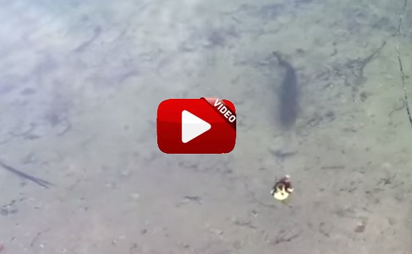 ¿Habías visto alguna vez un black bass atacando a un pequeño pato?