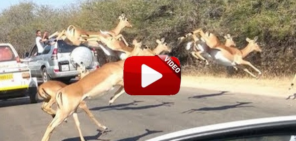 Un impala se cuela en el coche de unos turistas para salvar su vida
