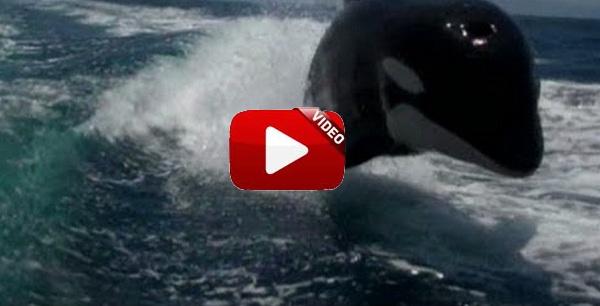 Varias orcas persiguen una lancha: hermoso y… ¡aterrador!