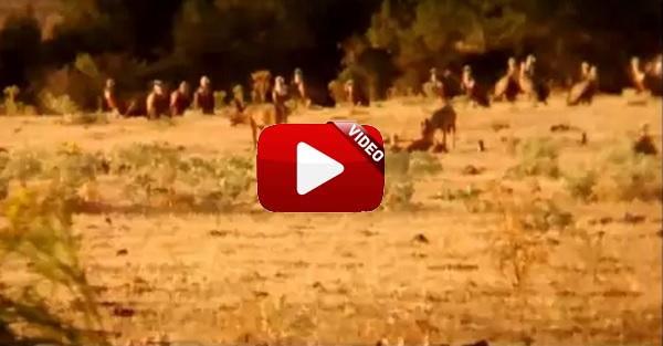 Dos lobos devoran un ternero en Segovia mientras decenas de buitres esperan impacientes