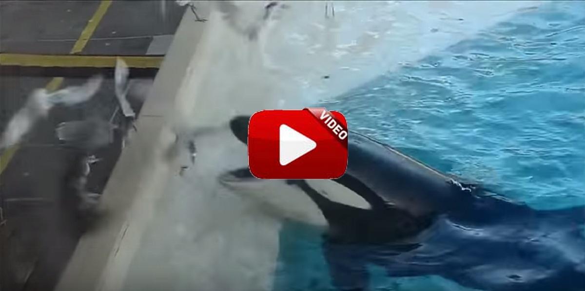 La orca que caza aves ¡utilizando peces como cebo!