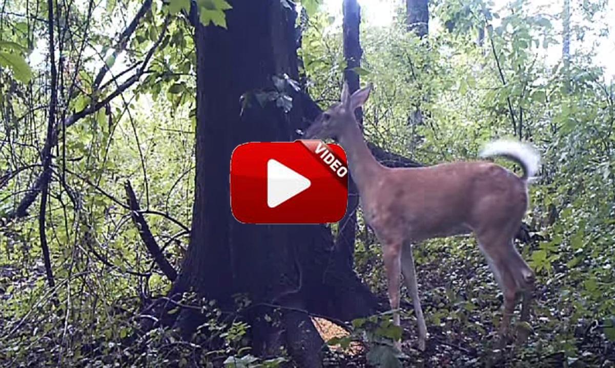 Un ciervo se tira un pedo y una cámara de fototrampeo lo recoge