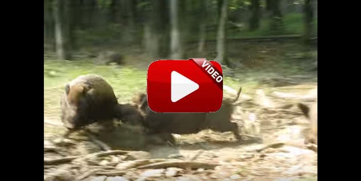 Violenta pelea de jabalíes