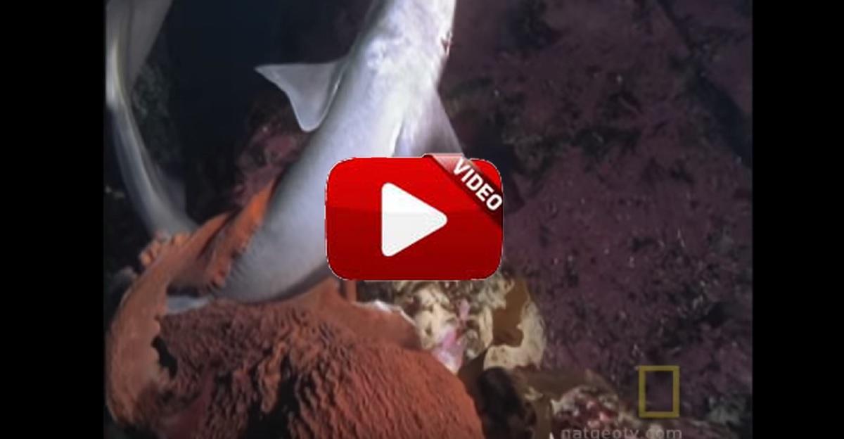 Un pulpo mata a un tiburón
