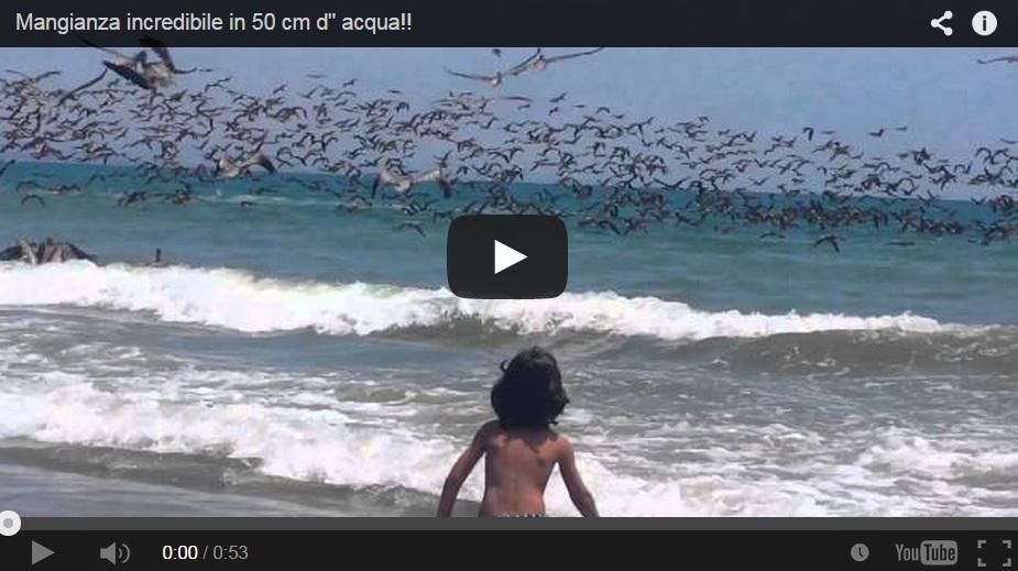 Miles de pelícanos atacan un banco de peces