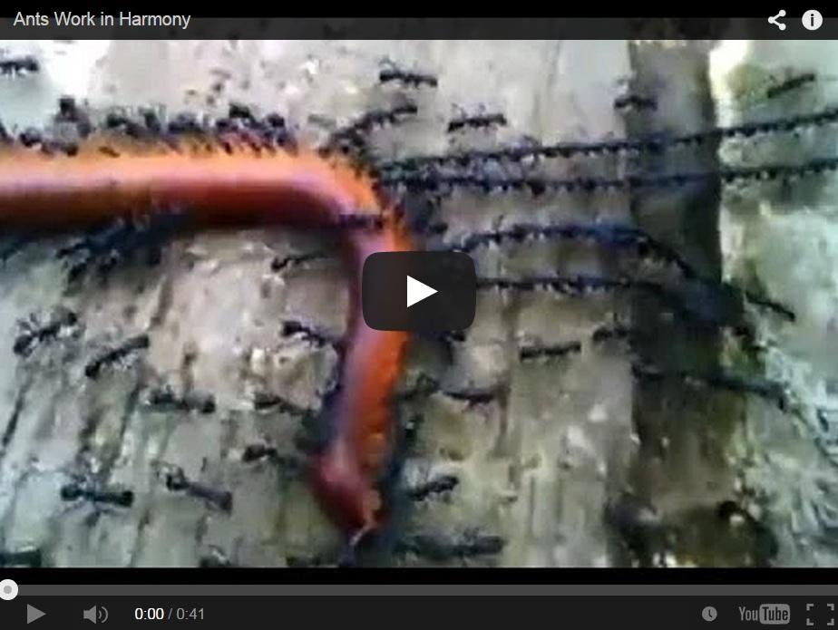 Unas hormigas forman una cadena para llevarse una lombriz