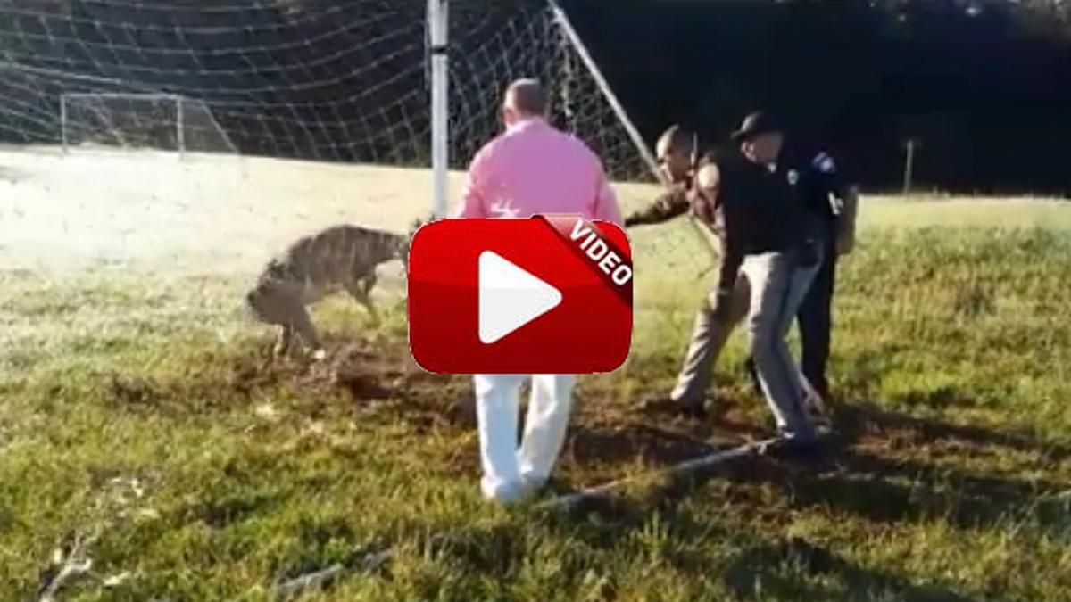 Un ciervo enreda su cuerna en la red de una portería de fútbol
