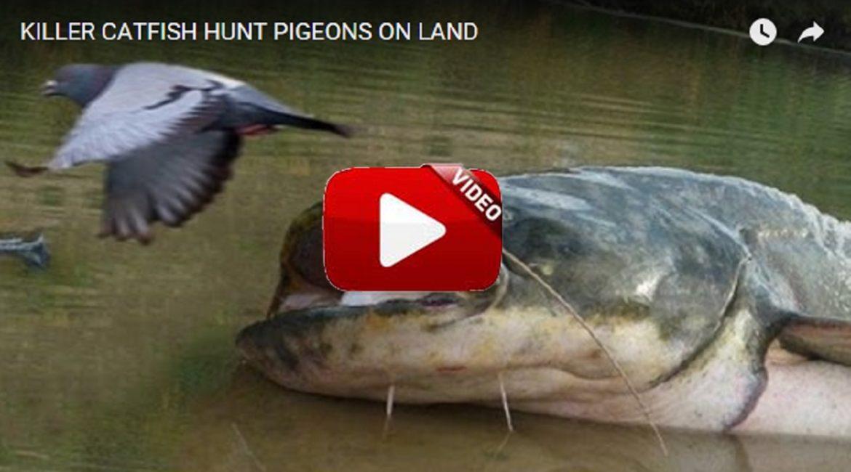 Peces que cazan palomas