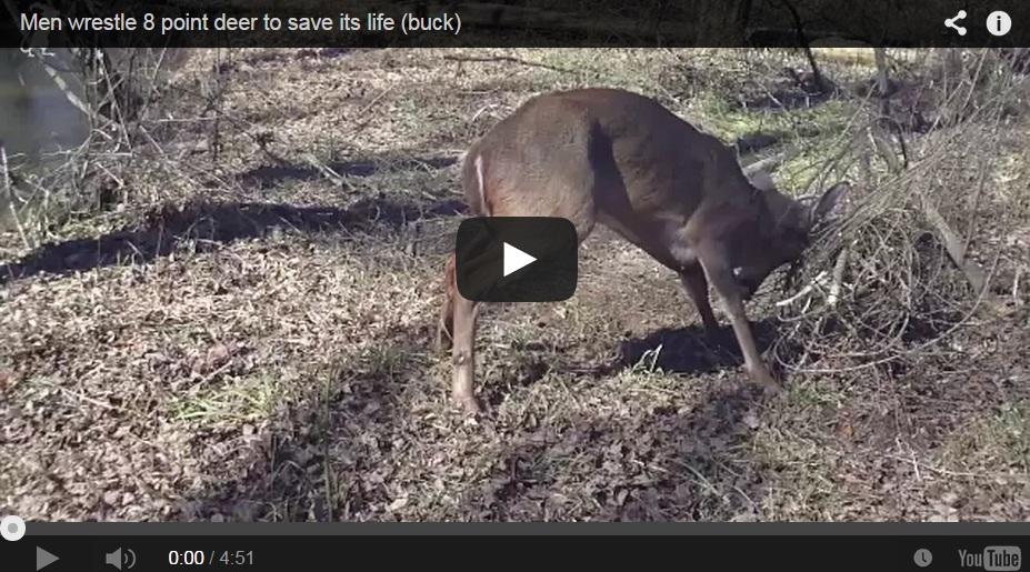 Liberan a un ciervo que tenía su cuerna enredada con alambre de espino