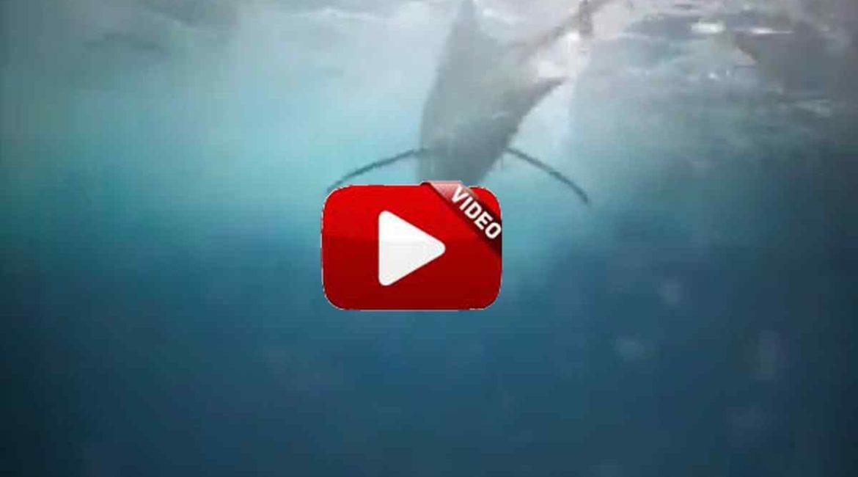¿Te preguntas cómo es la picada de un marlín bajo el agua?