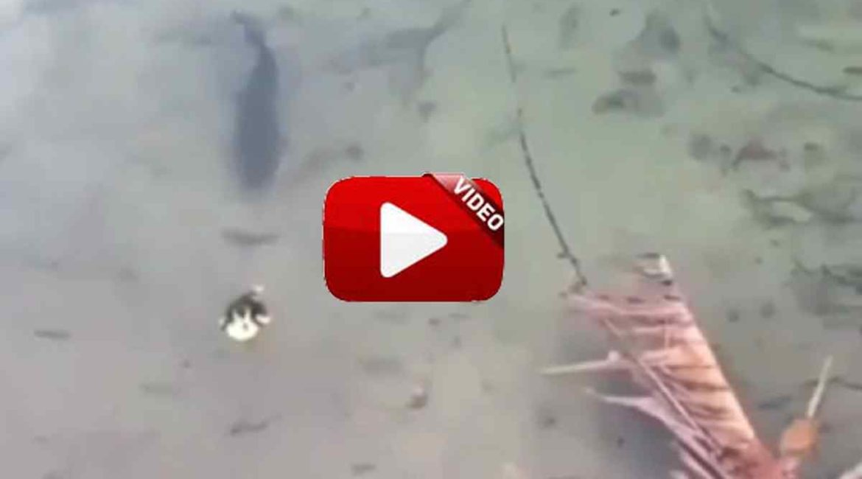 Ataque de black bass a pato