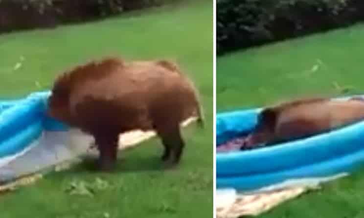 Graban cómo un jabalí se mete en una piscina para niños