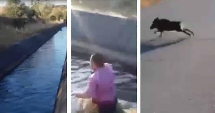 Un cazador salva la vida catorce jabalíes en un canal de Cáceres