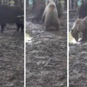 Un jabalí y un oso se enfrentan y esta cámara trampa lo graba