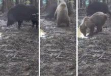 oso jabalí