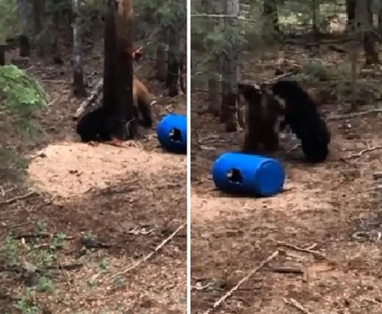 Un cazador graba desde una torreta la brutal pelea de dos osos