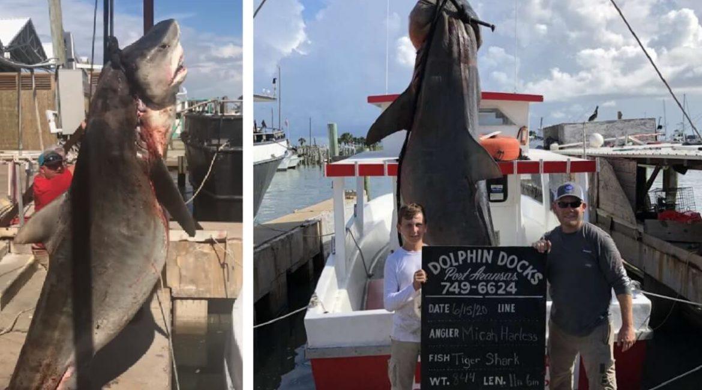 Un niño de 13 años y su padre pescan un tiburón tigre de 382 kilos tras cinco horas de lucha