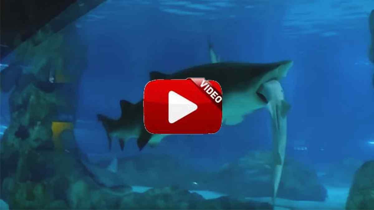 Un tiburón devora a otro en un acuario de Corea del Sur
